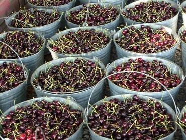 08-cherries