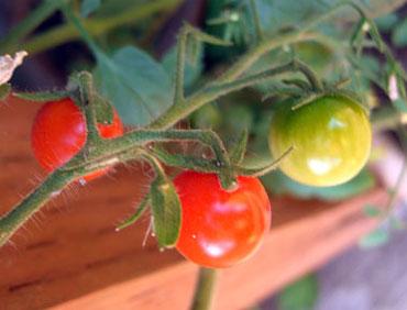 05-tomatoes2