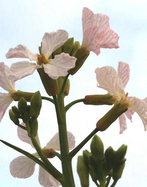 28-radishflower2