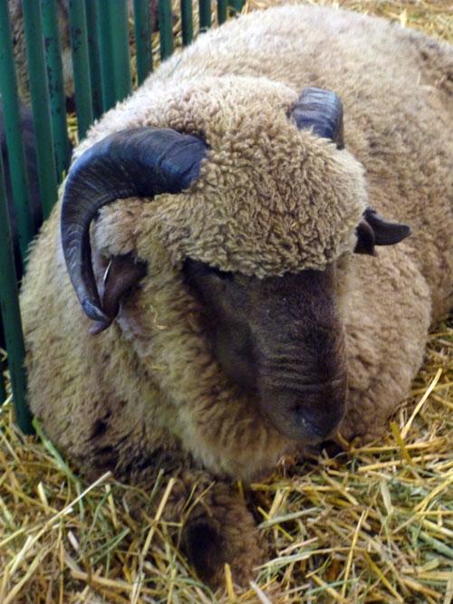 24-sheep1