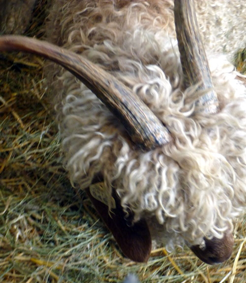 24-sheep3