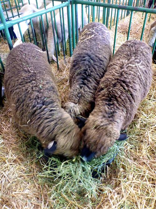 24-sheep4