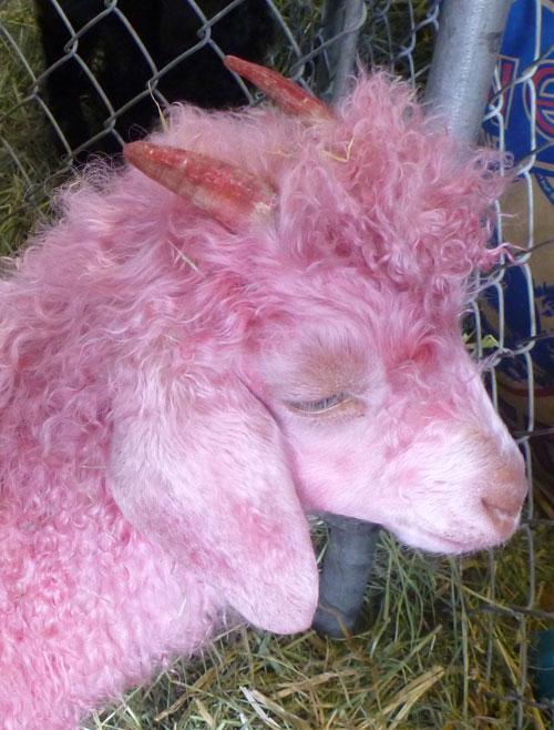 24-sheep5