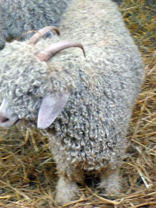24-sheep2